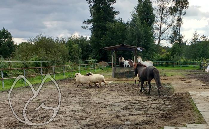 Gladur treibt die Schafe über das Paddock