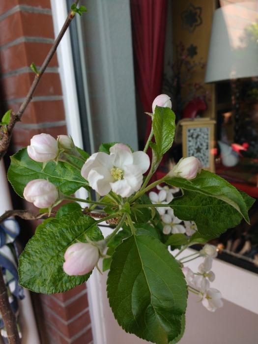 Der Apfelbaum blüht